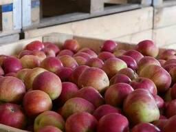 Свежие яблоки от производителя - фото 2