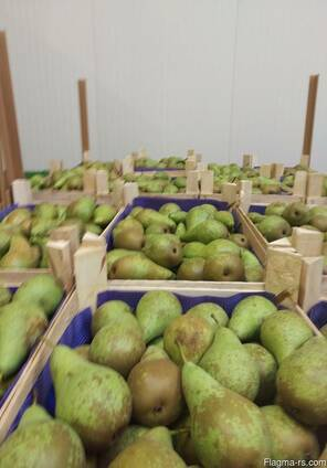 Груши из Польши! Pears from Poland!