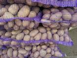 Krompir iz Belorusije плодоовощная продукция - photo 4
