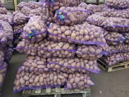 Krompir iz Belorusije плодоовощная продукция - photo 5