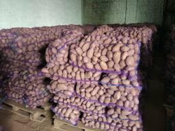 Krompir iz Belorusije плодоовощная продукция - photo 6